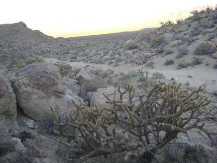 Cholla cactus along the old Coyote Springs Road