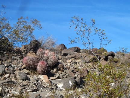 I'm at a high-enough elevation now that I'm occasionally seeing a few small barrel cacti