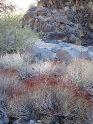 Many old, red plant stems (buckwheats perhaps) and fresh green catclaw acacias grow in this wash