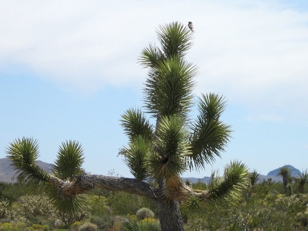 Near the old house, a bird lands atop a joshua tree