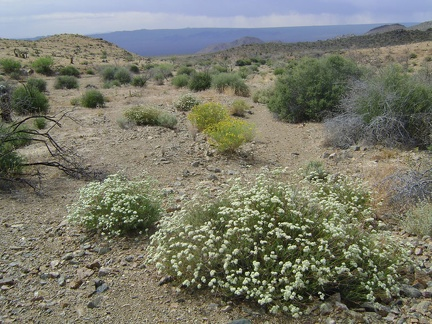 White buckwheat flowers in Macedonia Canyon valley