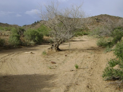 A tree grows in the wash in Macedonia Canyon, Mojave National Preserve