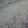 "Diminutive phacelia flowers grow in the road on the ""shortcut"" between Globe Mine Road's south and middle forks"