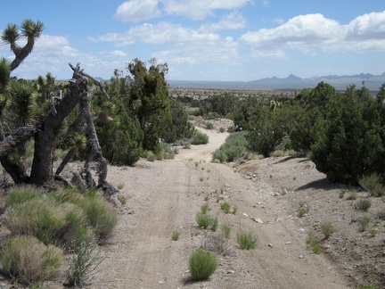 The Sagamore Canyon Cut-Off Road passes through a stand of juniper trees as it begins its gentle descent