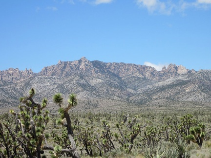 Great views from here across the joshua-tree forest to the New York Mountains peaks