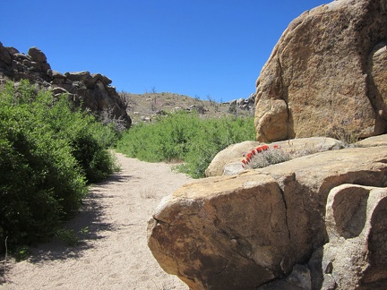A claret cup cactus grows in a boulder pile near Bathtub Spring, Mid Hills, Mojave National Preserve