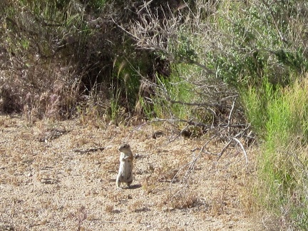 I've seen so many of these Mojave ground squirrels on this trip, but never manage to photograph them