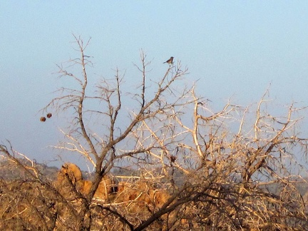The jays are still hanging out in the trees near my campsite at sunset