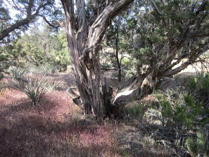 Some of the juniper trees, like this one, at Mid Hills campground are quite old