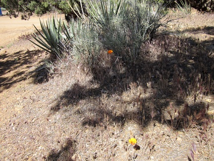 Here and there, an orange mariposa lily pops up among the banana yuccas, junipers, and pinon pines at Mid Hills campground