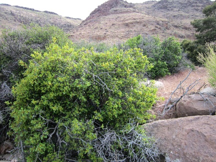 I take a closer look at that regenerated oak in Saddle Horse Canyon