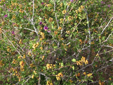 Purple four o'clock flowers poke through a Rhus trilobata bush laden with unripe berries in Saddle Horse Canyon