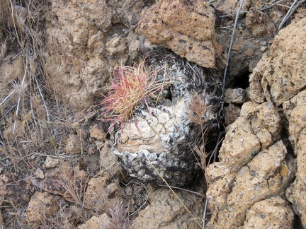 This charred barrel cactus is slowly resprouting after being burned in the 2005 brush fires