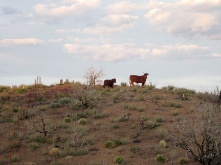Bovines along Wild Horse Canyon Road
