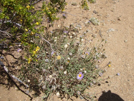 This Mojave aster, growing at the edge of a creosote bush, still has a few fresh flowers