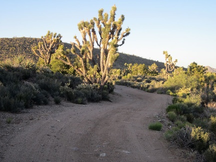 Joshua trees poke up above the shade line to collect the sunset light along Pine Spring Road, McCullough Mountains