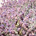 A pair of butterflies are having a great time in these sage blossoms