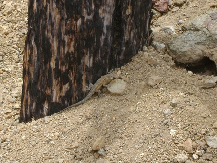 A lizard scurries along a burned timber outside the entrance to the Bluejay Mine, Mojave National Preserve