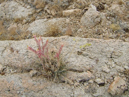 Desert dudleya growing in rock on the way down toward Beecher Canyon, Mojave National Preserve