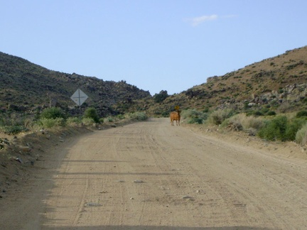 A cow stands in the middle of Black Canyon Road, not sure what to make of me
