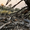 In the smoky sunlight of the California fires, a tree charred in a previous fire slowly returns to the earth