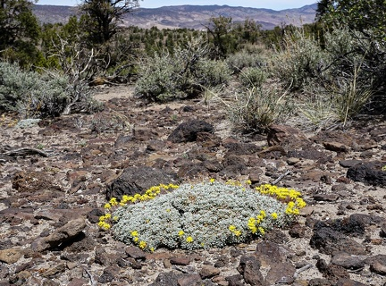 Buckwheat, Humboldt-Toiyabe National Forest