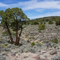 Elderly juniper tree, Humboldt-Toiyabe National Forest